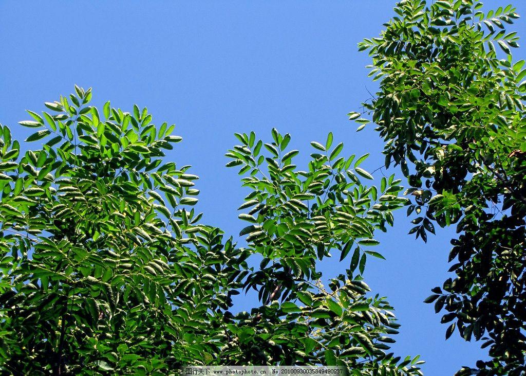 枝叶 园林树木 树枝 树叶 阳光 蓝色天空 美好景象 植物与叶子 树木